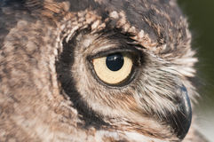 American owl, Bubo virginianus Royalty Free Stock Photos