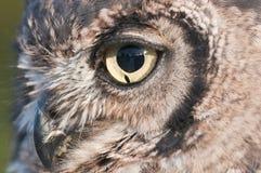 American owl, Bubo virginianus Royalty Free Stock Image