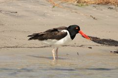American Oyster catcher on the beach stock photo