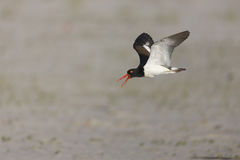 American Oystercatcher Stock Photos