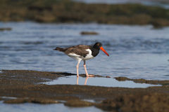 American Oystercatcher. In the coastal beaches of Camuy, Puerto Rico Royalty Free Stock Images