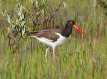 American Oystercatcher  Royalty Free Stock Photos