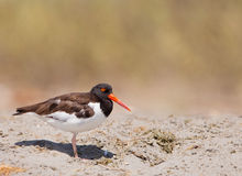 American Oystercatcher Stock Photography