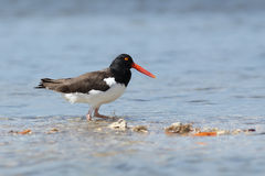 American Oystercatcher Royalty Free Stock Images