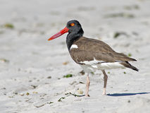 American Oystercatcher on Beach Royalty Free Stock Photo