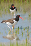American Oystercatcher in blue water Royalty Free Stock Photography