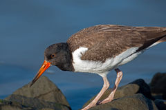 American Oystercatcher Chick Stock Photos