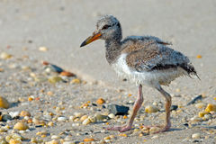 American Oystercatcher Chick Royalty Free Stock Photos