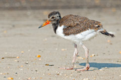 American Oystercatcher Chick Stock Image