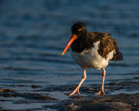American Oystercatcher at dawn looking for breakfast Stock Photo