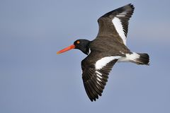 American Oystercatcher in flight Royalty Free Stock Images