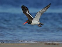 American Oystercatcher in flight Royalty Free Stock Photos