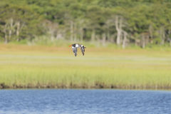 American Oystercatcher flying wings low Royalty Free Stock Images