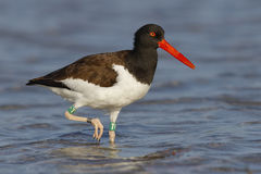 American Oystercatcher Foraging In A Florida Tidal Pool Stock Images