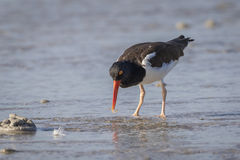 American Oystercatcher Foraging in a Shallow Lagoon - Florida Royalty Free Stock Images