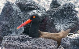 American Oystercatcher in the Galapagos Royalty Free Stock Photo