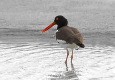American Oystercatcher (Haematopus palliates). Stock Photo