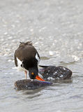 American Oystercatcher (Haematopus palliates) eating a clam. Royalty Free Stock Image