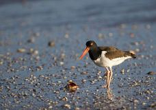 American Oystercatcher (Haematopus palliates). Stock Photography