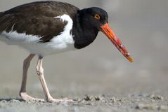 American Oystercatcher (Haematopus palliatus) Royalty Free Stock Photos