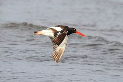 American Oystercatcher (Haematopus palliatus) Royalty Free Stock Photo