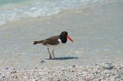 American Oystercatcher on Honeymoon Island, Florida Royalty Free Stock Images
