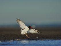 American Oystercatcher landing Stock Images