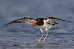 American Oystercatcher Landing In A Shallow Lagoon - Florida Stock Images