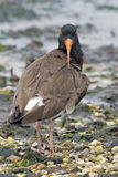 American Oystercatcher Royalty Free Stock Image