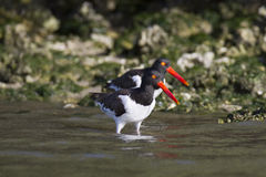 American Oystercatcher pair Royalty Free Stock Image