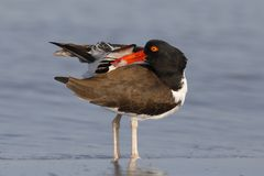 American Oystercatcher preening its feathers - Dunedin, Florida. American Oystercatcher Haematopus palliatus preening its feathers - Dunedin, Florida Stock Photo