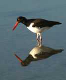 American Oystercatcher and Reflection Royalty Free Stock Images