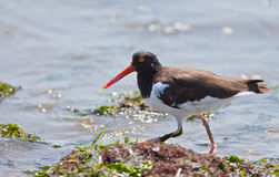 American Oystercatcher on a rock Stock Photo