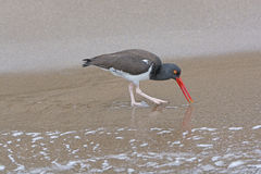 American Oystercatcher Searching for Food Royalty Free Stock Image