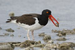 American Oystercatcher with a shell in its beak - Bonaire, Nethe Royalty Free Stock Photo