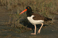 American Oystercatcher On Shore. An American Oystercatcher walking along the shore of the Atlantic Ocean in Florida Stock Photography