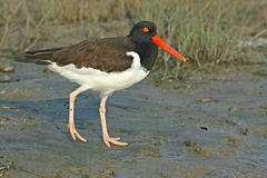 American Oystercatcher On Shore. An American Oystercatcher walking along the shore of the Atlantic Ocean Royalty Free Stock Photo