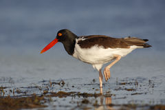 American Oystercatcher Standing On One Leg - Florida Royalty Free Stock Photos