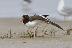 American Oystercatcher Stretching its Wing on a Florida Beach Stock Photos