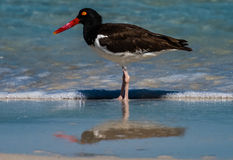 American Oystercatcher in the surf Stock Image