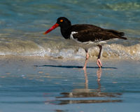 American Oystercatcher in the surf Stock Images