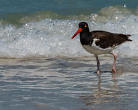American Oystercatcher in the surf Royalty Free Stock Image