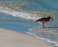 American Oystercatcher in the surf Royalty Free Stock Photography