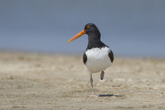American Oystercatcher on a Texas Beach Royalty Free Stock Images