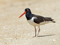 American Oystercatcher Royalty Free Stock Photo