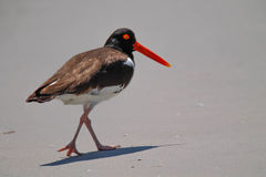 American Oystercatcher. Walking on beach Stock Photos