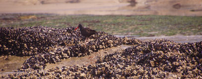 American oystercatcher walking on mussels Royalty Free Stock Image