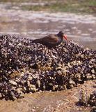 American oystercatcher walking on mussels Royalty Free Stock Images