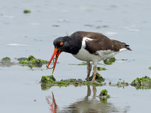 American Oystercatcher with Worm Royalty Free Stock Photography