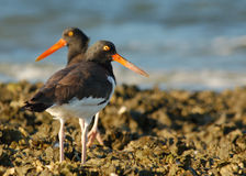 American Oystercatchers. Two American Oystercatchers feed along an oyster bar at low tide along the gulf coast of Florida stock images
